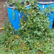 Volunteer tomatoes growing out of compost